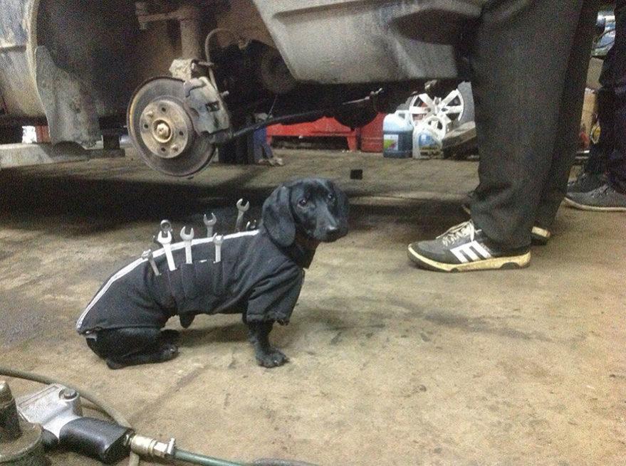Pes pomáhá spravovat auto